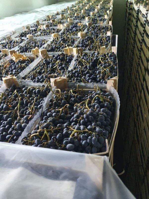 vinograd-moldova-na-eksport