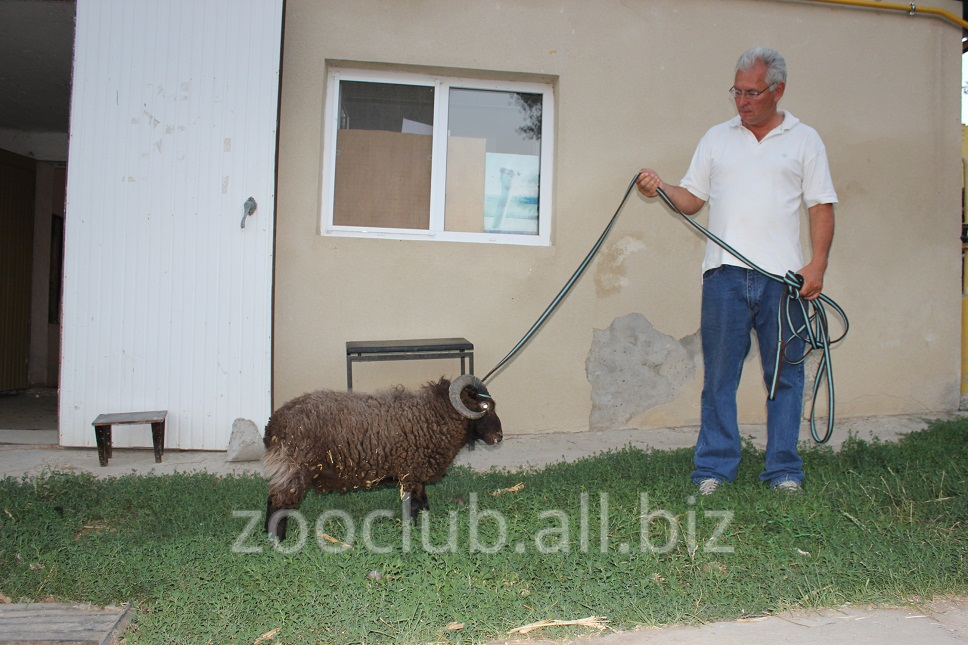 ovczy