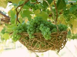 vinograd_moldavskij