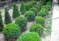 Самшит вечнозеленый шаровидный