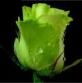 Саженцы роз Зеленного цвета