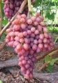 Struguri de masă Sultana (vis) fără sâmburi direct de pe teren! flori roz, mari, proaspete, naturale!