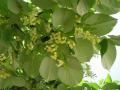 Big-leaf linden