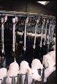 Системы доения коз ,овец