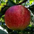 Яблоки летние сорта