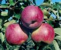 Яблоки сорт Флорина
