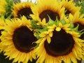 Семена подсолнечника селекции euralis es florimis cl