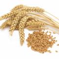 Пшеница посевная