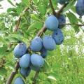 Prune stenley (слива)