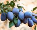 Сливы(prune)