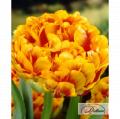 Sunlover 12224 tulip bulbs