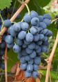 Виноград столовый сорт Молдова