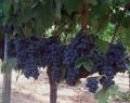 Виноград сорт Альфонс Лавалле