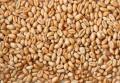 Пшеница гибридная