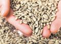 Ядро семян подсолнечника на экспорт