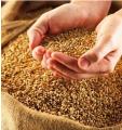 Зерновых культур(пшеница, ячмень,рапс, кукуруза, подсолнух, соя)