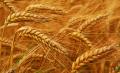 Озимая пшеница Turunciuk