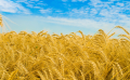 Feed wheat in Moldova and for export
