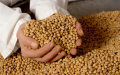 Soybeans in Moldova and for export