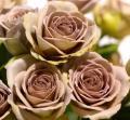Кофейные розы сорт Амнезия