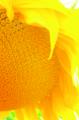 Семена подсолнечника - ОРИЕНТИР