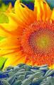 Семена подсолнечника - ДИВНА