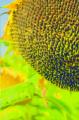 Семена Подсолнечника - КАТЕРИНА