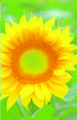 Семена подсолнечника - ПЕГАС