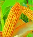 Семена Кукурузы -  UNION