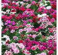 Seeds Dianthus chinensis mix