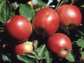 Яблоки Вагнер Призовое
