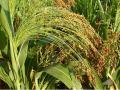 Сорго зерно