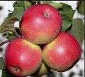 Летние яблоки