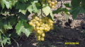 Grapes of table grades we sell a harvest of 2014
