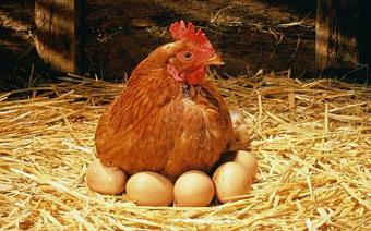 Заказать Выращивание кур в Молдове