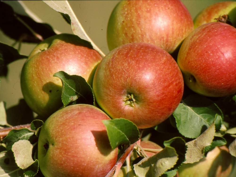 Order Cultivation of apples
