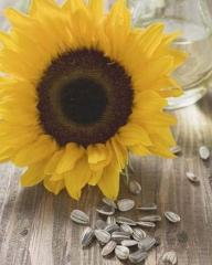 Cleaning of seeds of sunflower