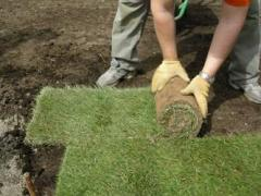 Laying of rolled lawns