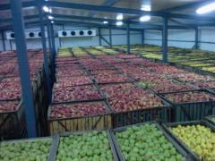 Crestere de mere