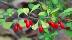 Landing of fruit and berry bushes