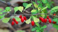 Посадка плодово-ягодных кустарников