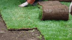 Cultivation of rolled lawns