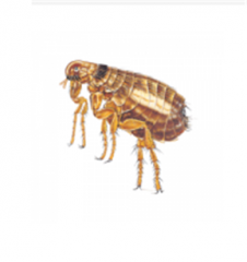 Extermination of fleas professional