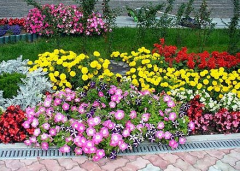 Planting of annual flowers