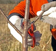 Cutting of fruit-trees